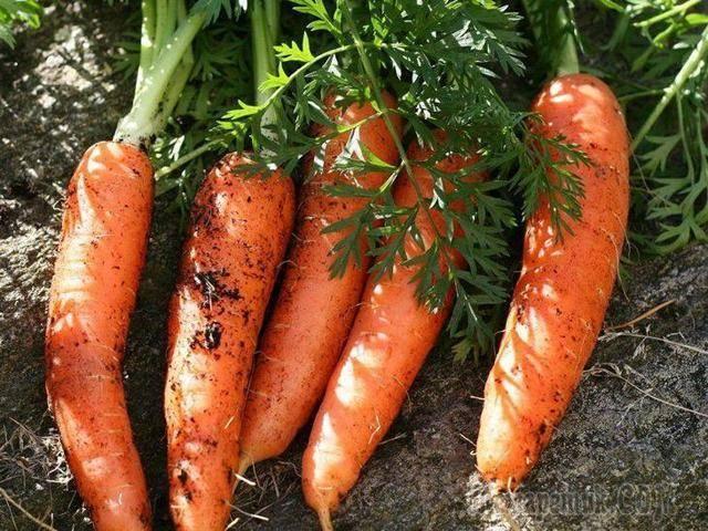 Секреты, которые помогут правильно хранить морковь в холодильнике так, чтобы она не вяла и не портилась