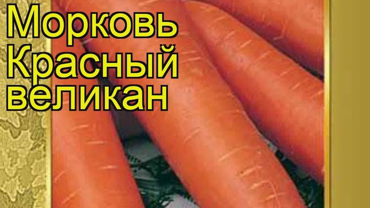 Морковь красный великан: особенности выращивания и ухода