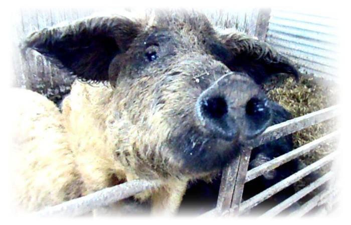 Свиньи породы мангалица: описание, характеристика, мнения животноводов
