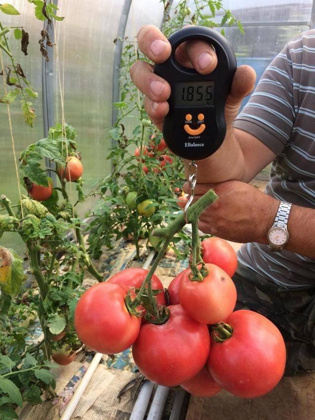 Все о сорте томатов малиновое чудо