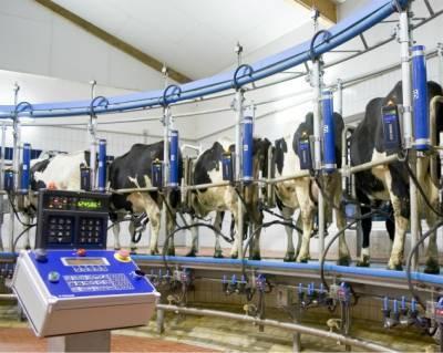 Как доить корову? 31 фото крем для вымени после дойки. как правильно осуществлять доение руками? сколько раз в день нужно доить корову? с какой стороны к ней подходить?