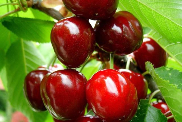 Весенний уход за вишней: основные агротехнические мероприятия для получения хорошего урожая