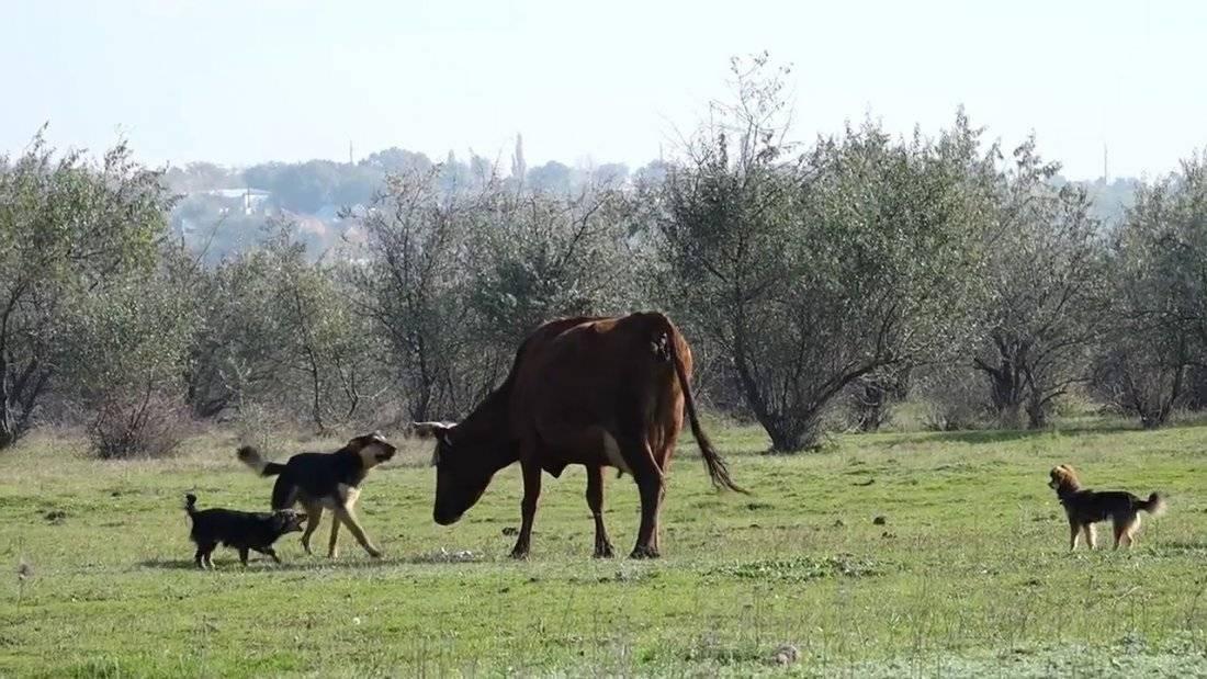 Стригущий лишай у коров и телят. симптомы, лечение и профилактика с фото и видео