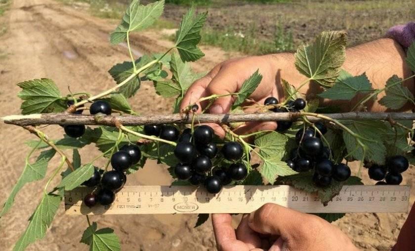 Смородина багира - описание сорта, особенности ухода и выращивания