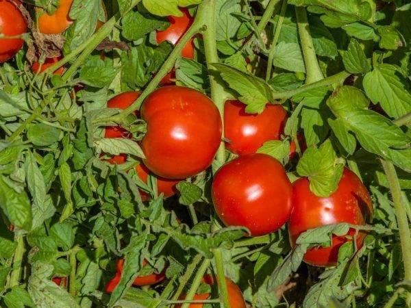 Особенности выращивания и посадки томата махитос