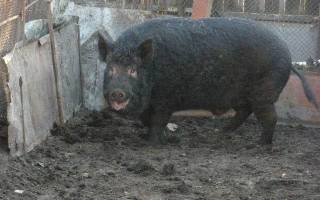 Кармалы порода свиней - характеристика и инструкция по выращиванию!