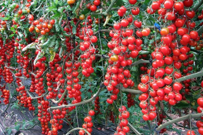 Томат кистевой красная звезда f1 — описание, урожайность, отзывы