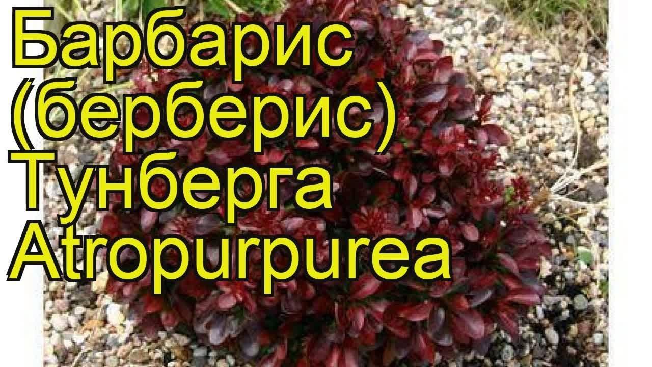О барбарисе тунберга атропурпуреа: описание сортов, выращивание, уход