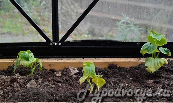 Как правильно выращивать огурцы в теплице