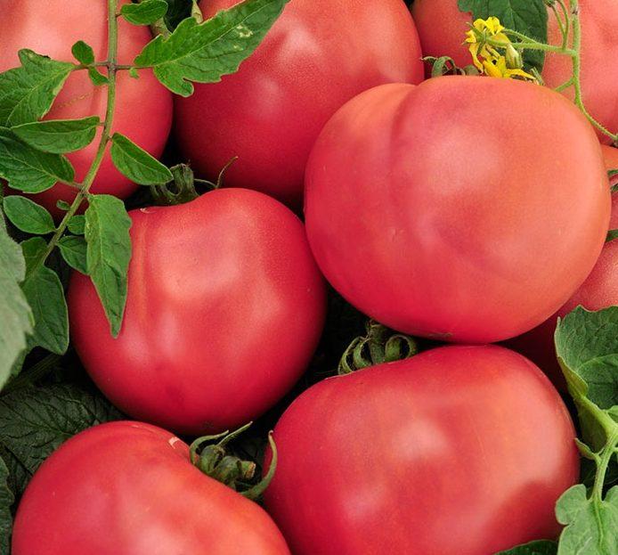 """Томат """"царь петр"""": характеристика и описание сорта помидор, особенности выращивания, фото спелых плодов и маленькие хитрости по уходу за кустами"""