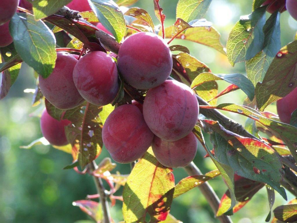 Алыча найдёна – сладкий плод без особых хлопот