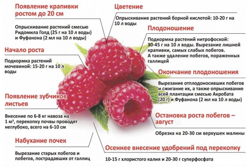 Малина недосягаемая (р-34): особенности выращивания
