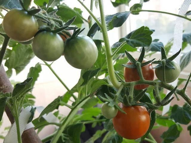 Как правильно пасынковать помидоры: пошаговая инструкция
