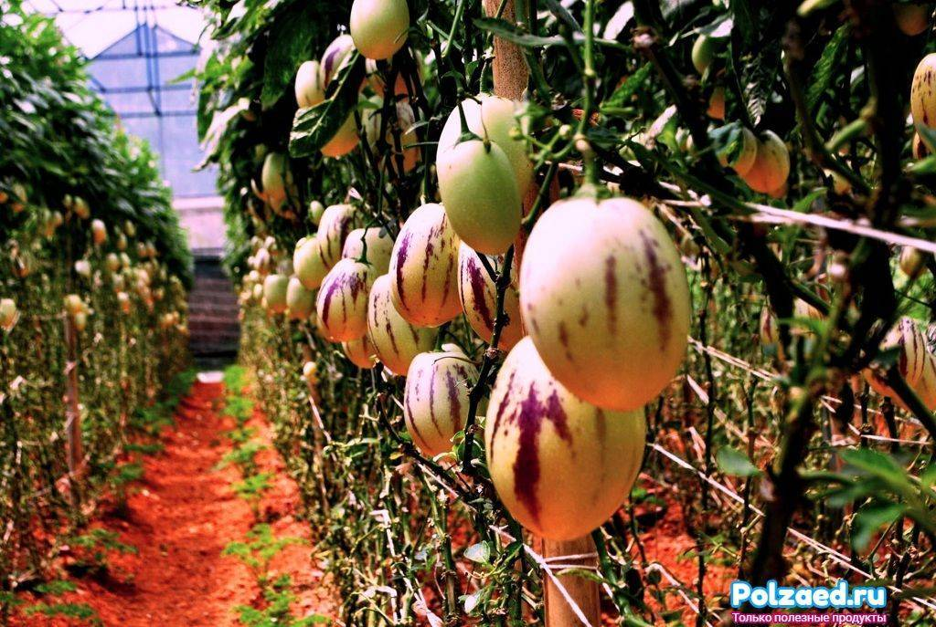 Пепино фрукт, дынная груша пепино вкус, как есть плод растения пепино  | ogorodnik.com