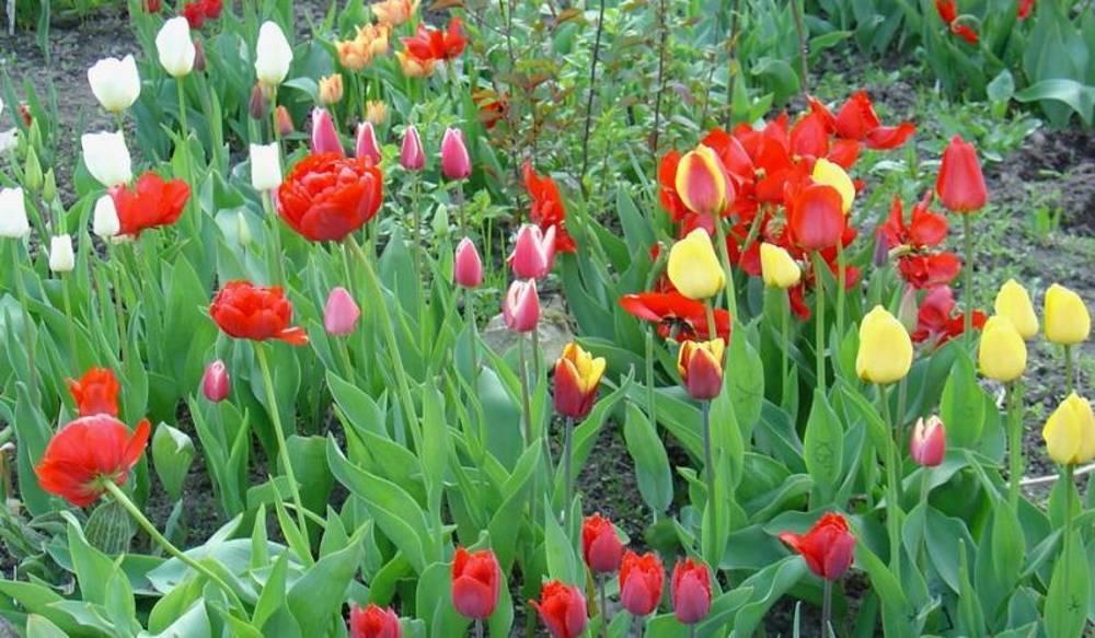 Удобрение для тюльпанов - чем подкормить для роста и цветения