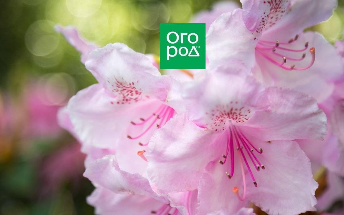 Подкормка для рододендрона весной – залог красивых цветов и сочной листвы