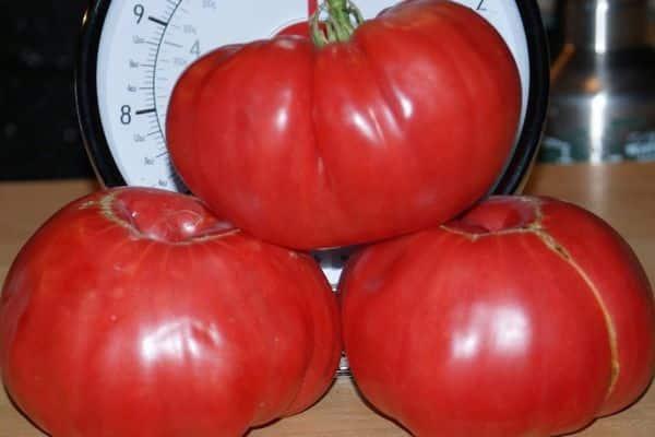 Сорт томата «сахарный гигант»