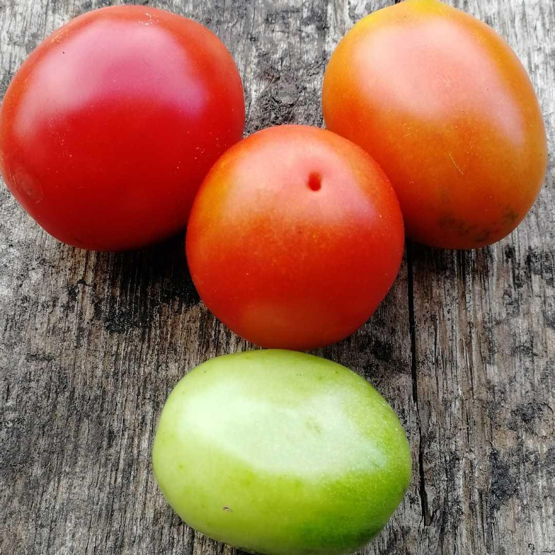 "Томат ""чибис"": описание и характеристики сорта, рекомендации по уходу"
