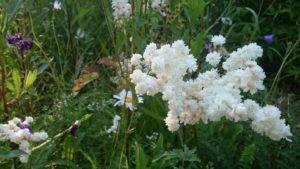 Выращиваем дома необычной красоты лабазник