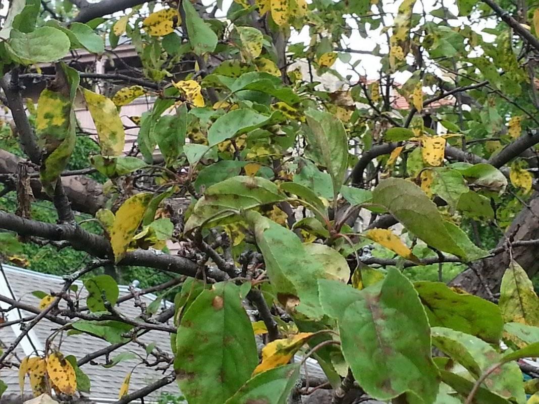 Чем обработать яблоню от парши осенью
