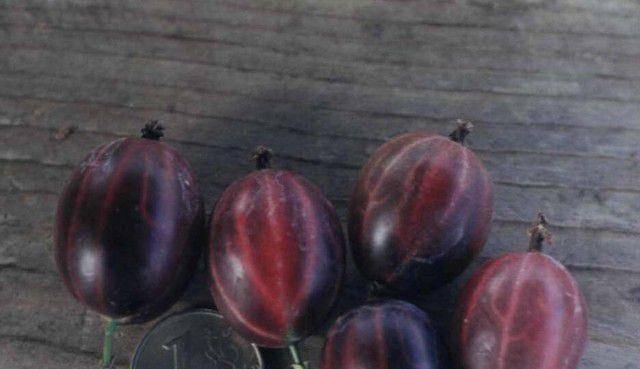 Описание и характеристики сорта крыжовника консул, выращивание и уход
