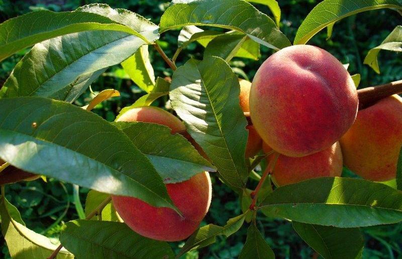 Персик «киевский ранний»: особенности ухода за деревом