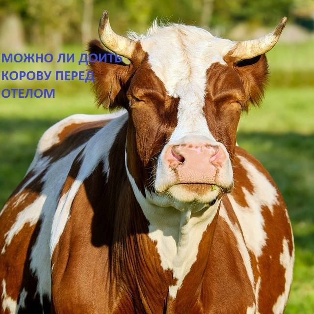 Отел коровы: основные признаки отела, правильная подготовка и прием теленка
