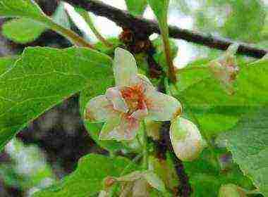 Лимонник китайский: выращивание и уход. лечебные свойства , противопоказания и показания к применению