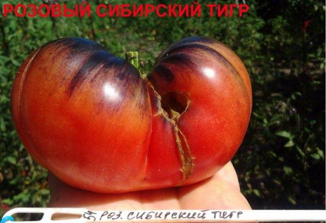Томат руслан — описание и характеристика сорта