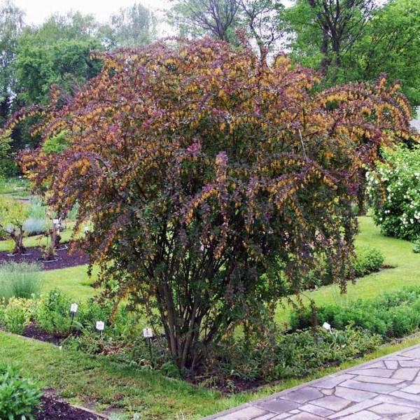 Что нужно знать, чтобы вырастить барбарис в своем саду.