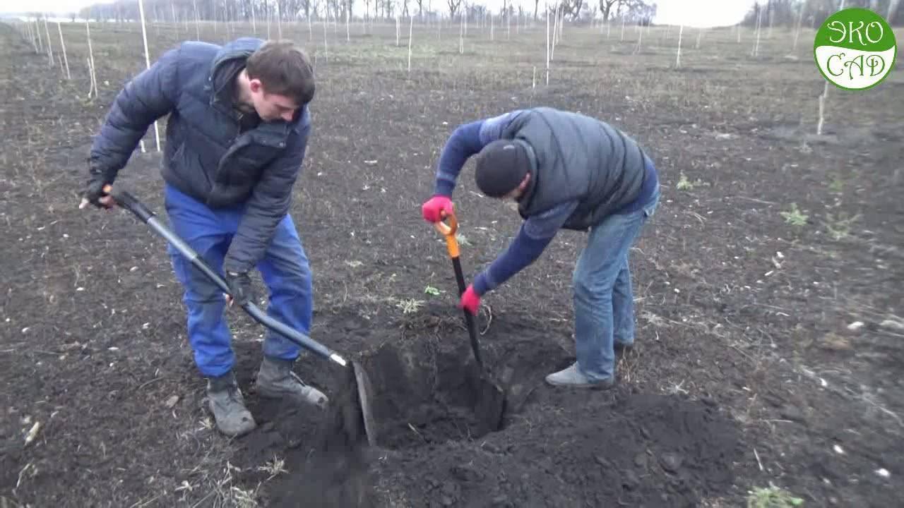 Все нюансы посадки грецкого ореха весной. какой способ выбрать и когда ждать первый урожай?