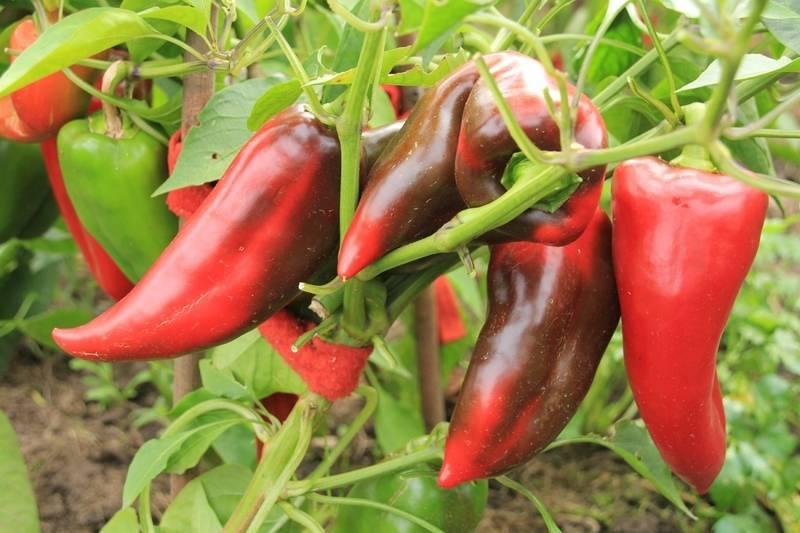 Перец «воловье ухо»: крупноплодный со стойким послевкусием