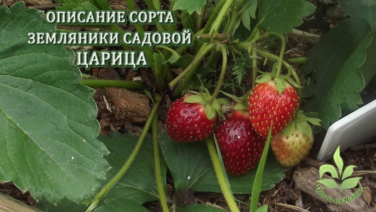 Описание клубники сорта первоклассница и особенности выращивания