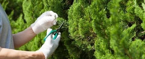 Самшит: правильная посадка и уход за вечнозеленой культурой
