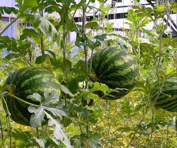 Как вырастить сочные арбузы в теплице из поликарбоната?