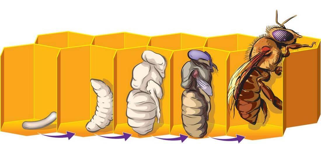 Полезные свойства и вред пчелиных укусов | польза и вред