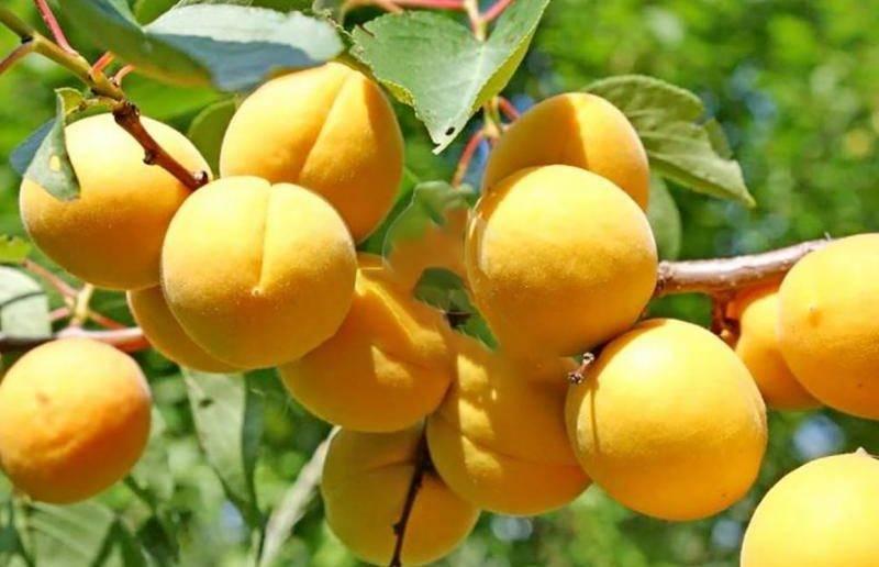 Абрикос водолей: описание сорта, характеристика плодов, особенности выращивания, профилактика и лечение парши, отзывы
