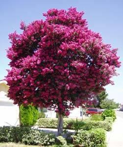 Лагерстремия индийская или «божественный цветок»: как вырастить красавицу