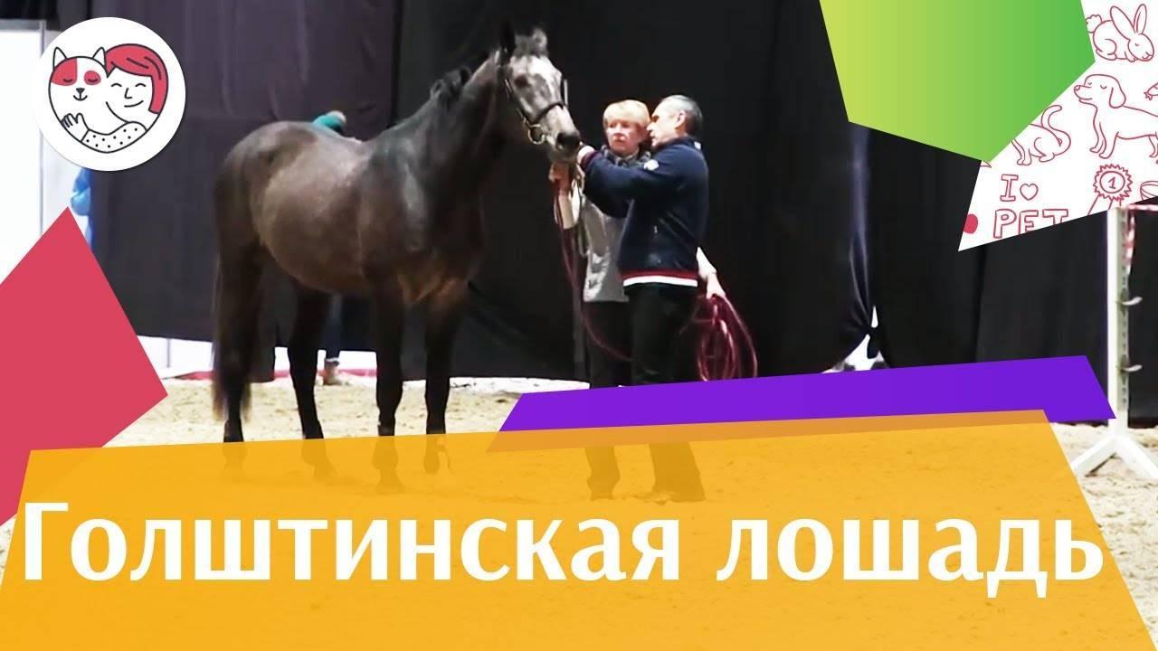 Голштинская порода лошадей (20 фото): какие особенности имеет голштинец? характеристика породы