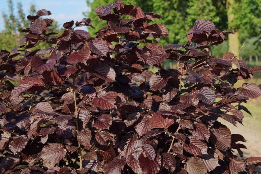 Описание лещины пурпурной (purpurea): особенности выращивания и ухода