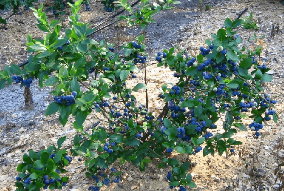 Голубика bluecrop — ягоды грибы