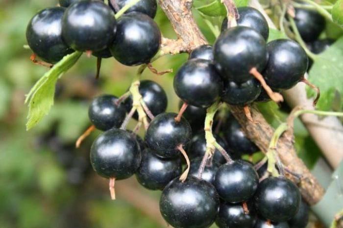 """Черная смородина """"валовая"""": описание сорта с фото, характеристики и особенности выращивания"""