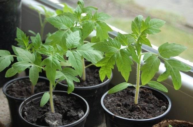 Подготовка семян к посеву: перца, томатов, этапы обработки, как правильно подготовить семечки к посадке