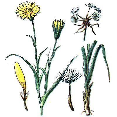 Козлобородник - род tragopogon - галерея видов - плантариум