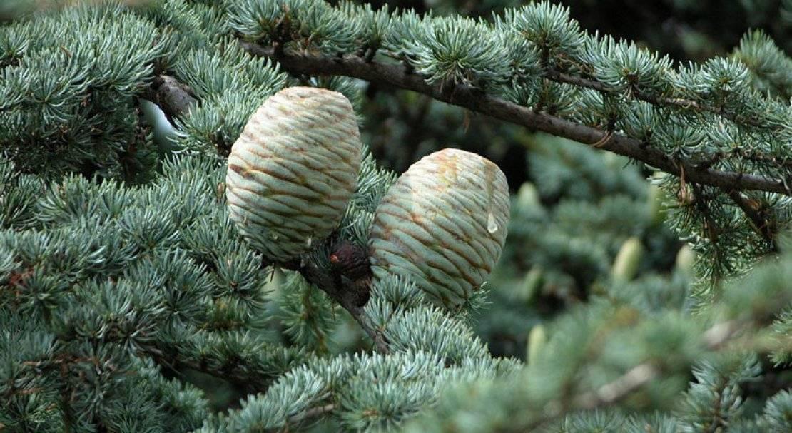 Кедр гималайский (cedrus deodara): описание