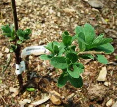Характеристика и особенности выращивания жимолости сорта виола