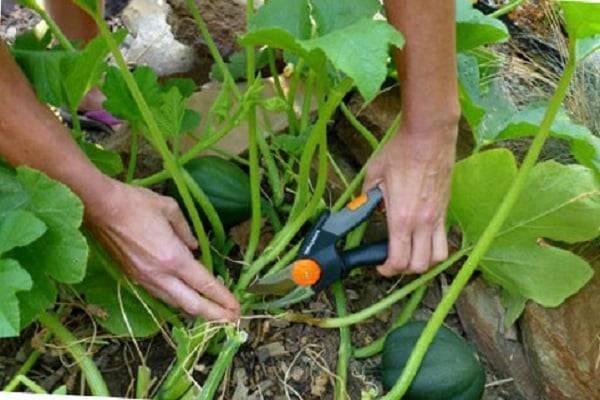 Схема прищипывания арбузов и дынь в открытом грунте: правила формирования