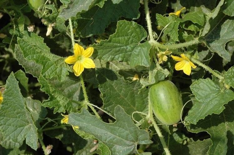 Огурдыня: выращивание и уход! мой опыт и отзыв! полезные свойства.