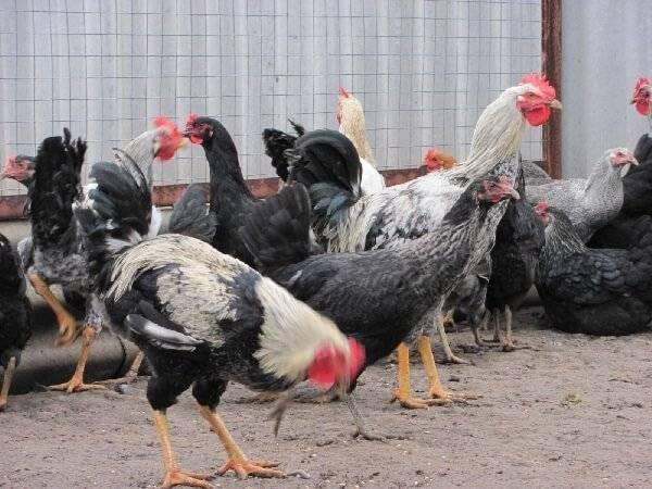 Юрловская голосистая порода кур: описание и фото, характеристики и особенности выращивания и разведения