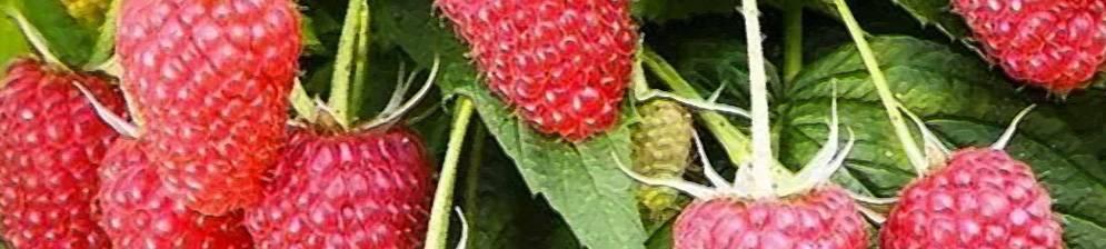 Малина мария — сверхранний сорт со вкусом и ароматом детства